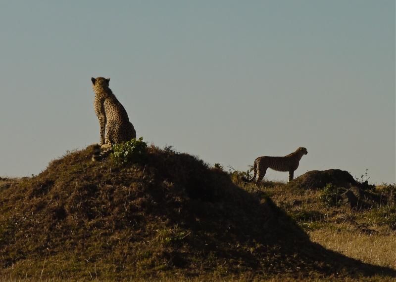 Cheetah and cub, Mara North Conservancy, Kenya, Dec. 2012 P1060515
