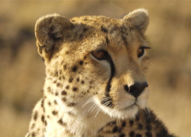 Cheetah and cub, Mara North Conservancy, Kenya, Dec. 2012 P1060516
