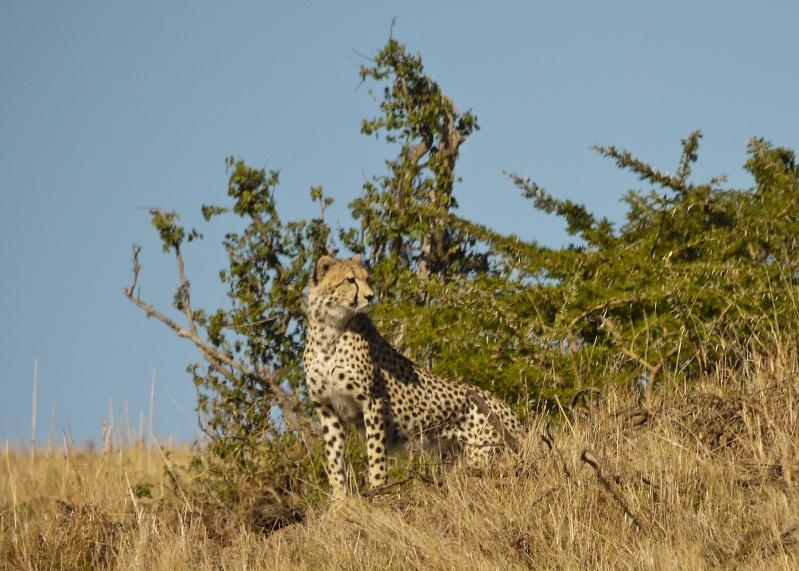Cheetah and cub, Mara North Conservancy, Kenya, Dec. 2012 P1060913