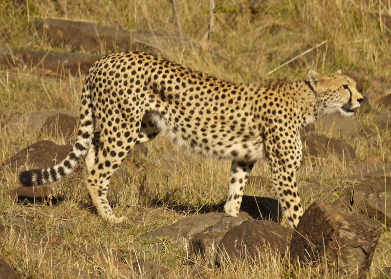 Cheetah and cub, Mara North Conservancy, Kenya, Dec. 2012 P1060914