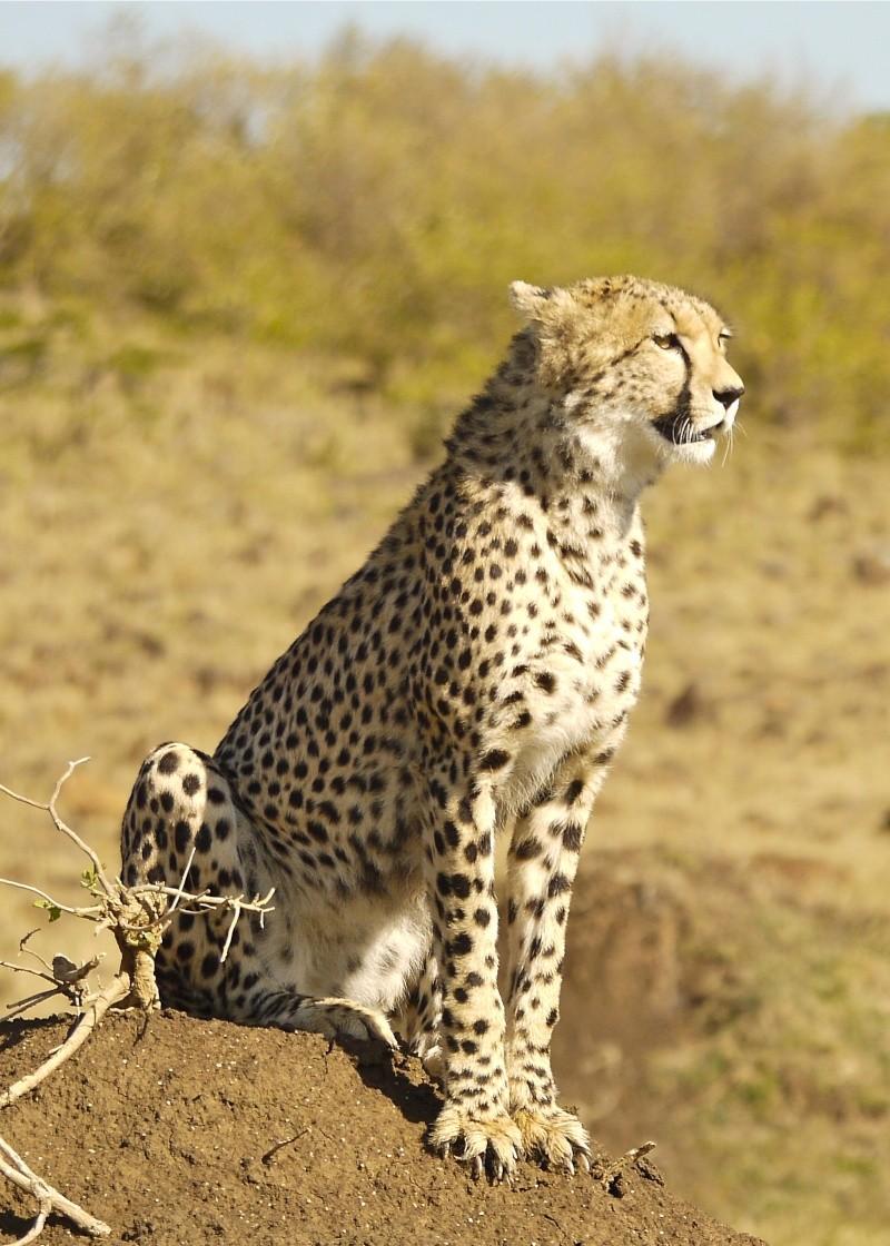 Cheetah and cub, Mara North Conservancy, Kenya, Dec. 2012 P1060915