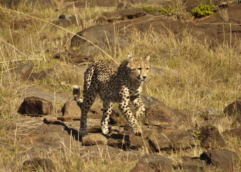 Cheetah and cub, Mara North Conservancy, Kenya, Dec. 2012 P1060916