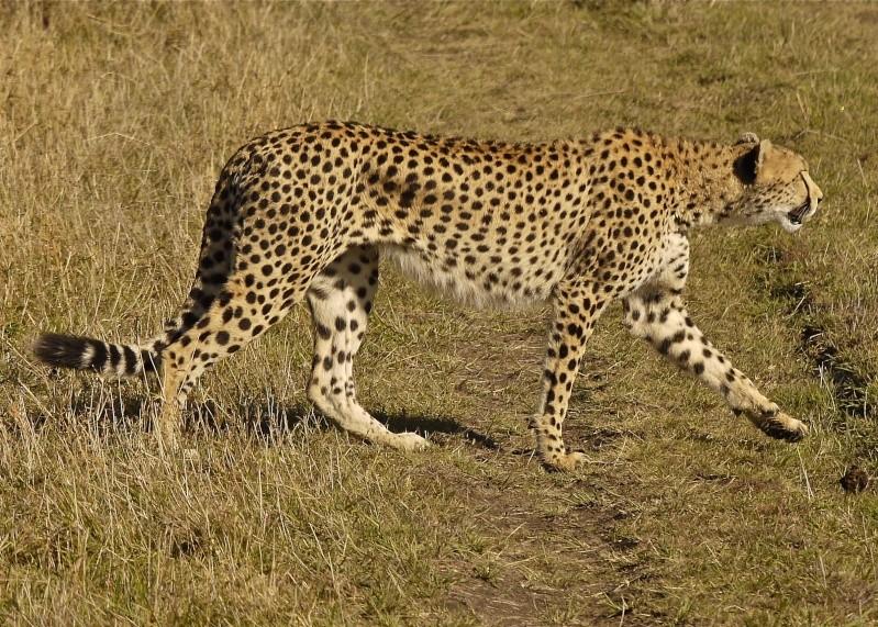 Cheetah and cub, Mara North Conservancy, Kenya, Dec. 2012 P1060917