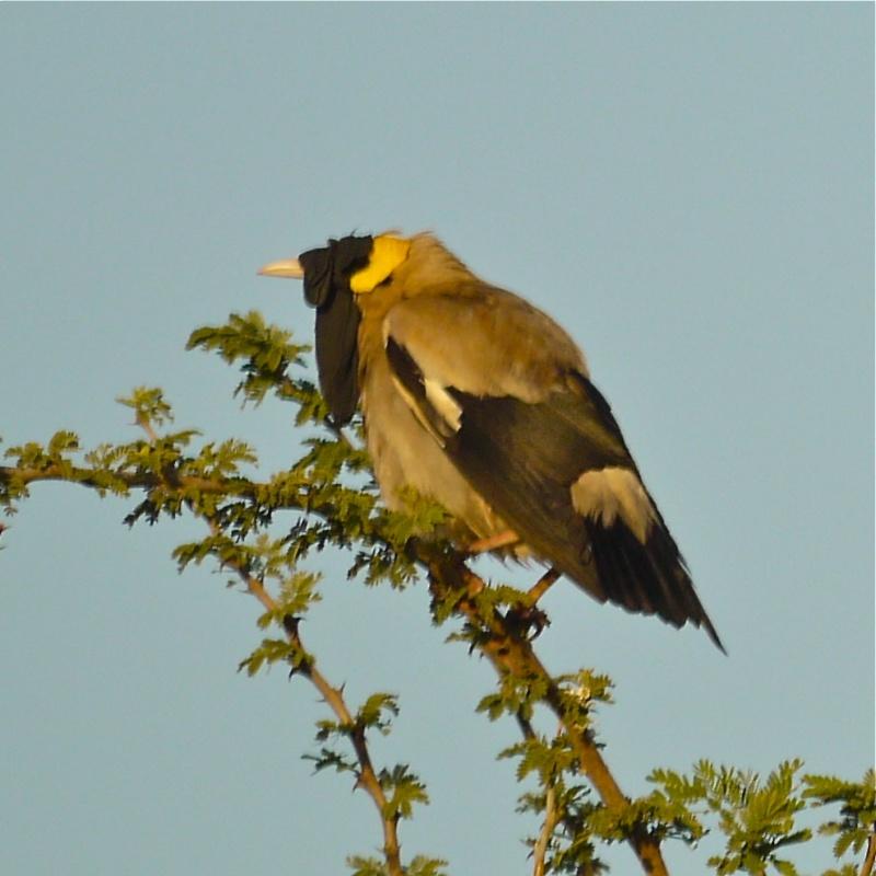Birds of Meru National Park, Kenya, Dec.2012 P1070011