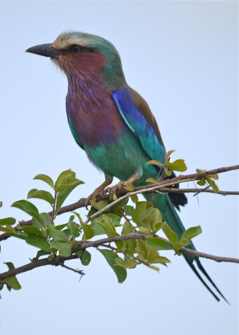 Birds of Meru National Park, Kenya, Dec.2012 P1070212