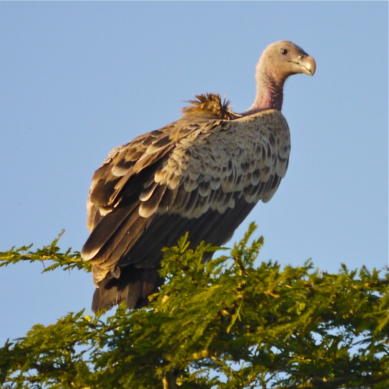 Birds of Meru National Park, Kenya, Dec.2012 P1070510