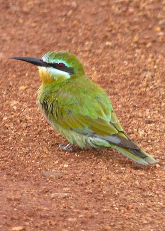 Birds of Meru National Park, Kenya, Dec.2012 P1070912
