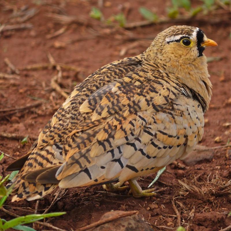 Birds of Meru National Park, Kenya, Dec.2012 P1070913