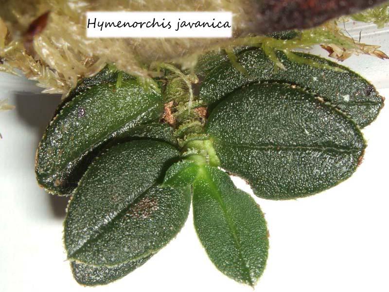 Miniatur- Orchideen Hymeno10