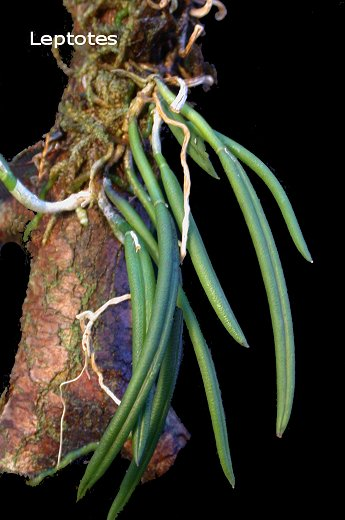 Miniatur- Orchideen - Seite 2 Leptot10