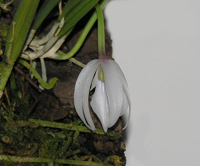 Miniatur- Orchideen - Seite 2 Leptot12