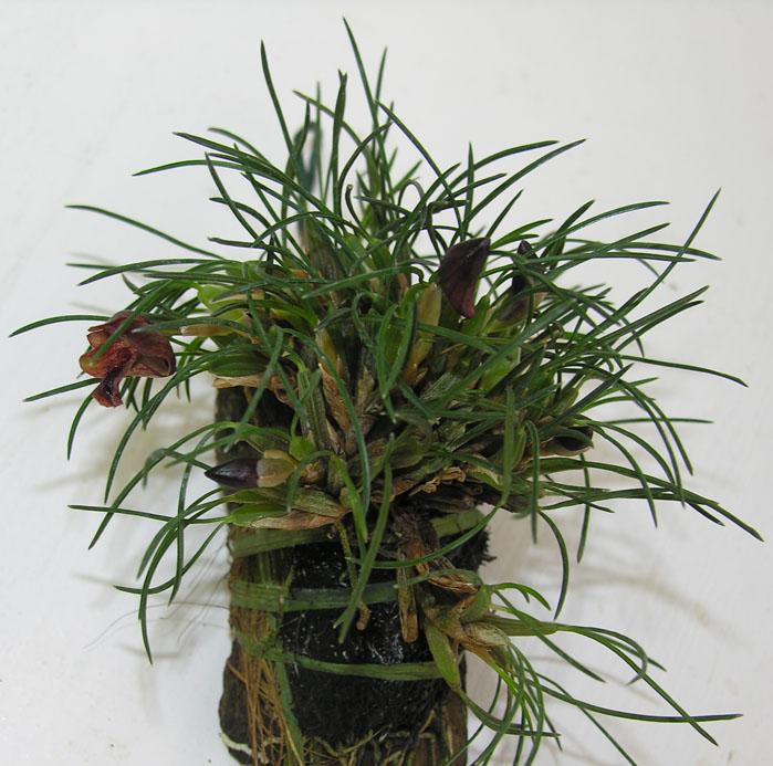 Miniatur- Orchideen - Seite 3 Maxill10