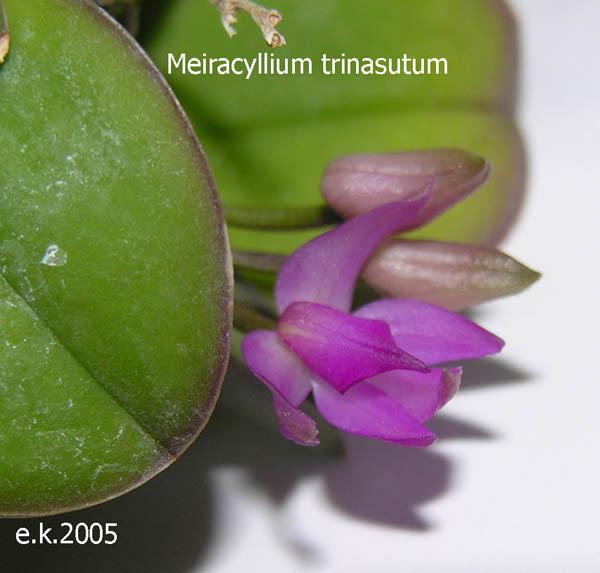Miniatur- Orchideen - Seite 2 Meira-10