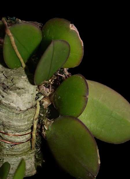 Miniatur- Orchideen - Seite 2 Meirac10