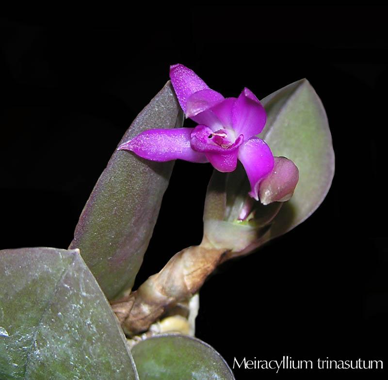 Miniatur- Orchideen - Seite 2 Meirac11