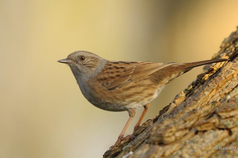 Reconnaitre les oiseaux de nos jardins... - Page 6 Accent11