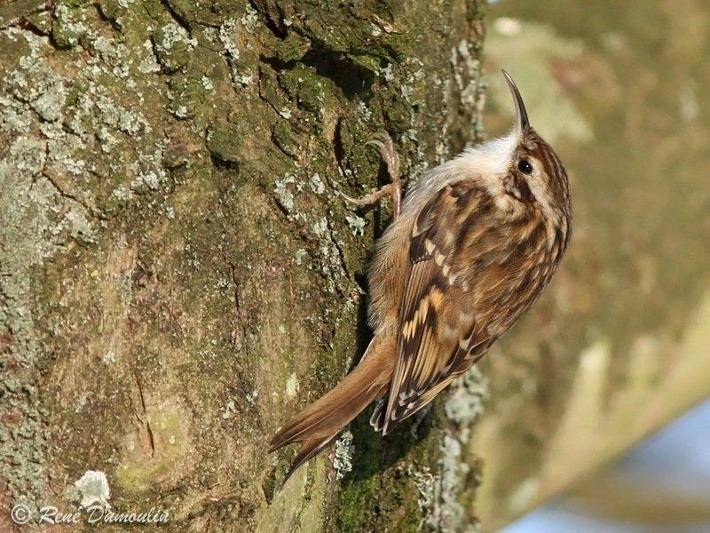 Reconnaitre les oiseaux de nos jardins... - Page 6 Grimpe10