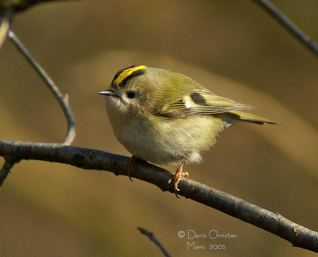 Reconnaitre les oiseaux de nos jardins... - Page 6 Roitel11