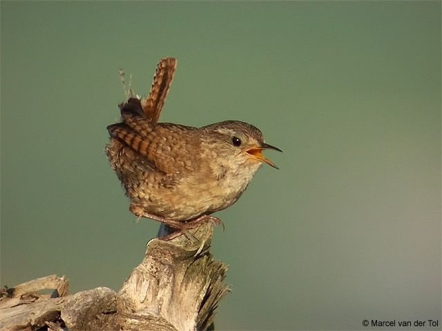 Reconnaitre les oiseaux de nos jardins... - Page 6 Troglo10