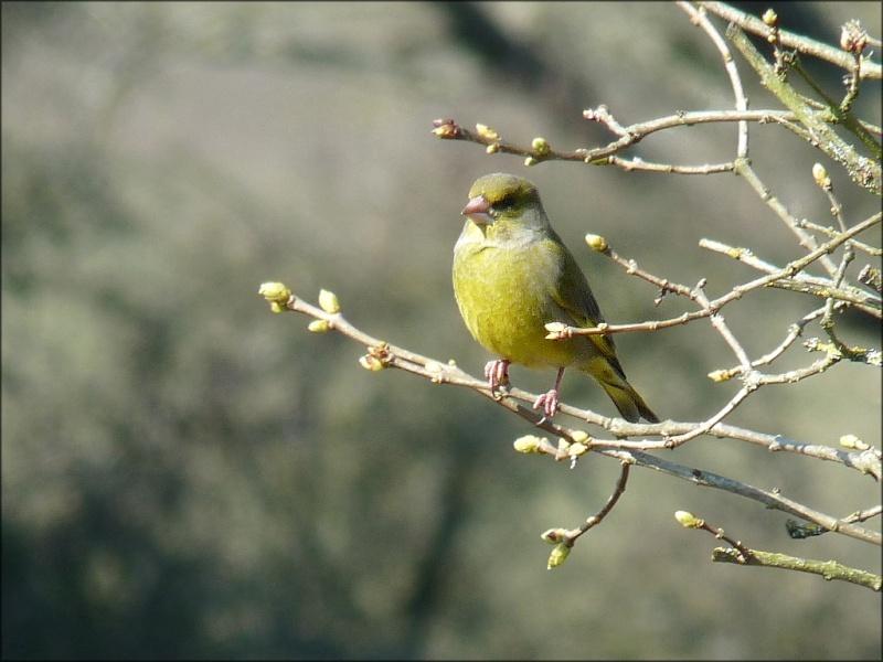 Reconnaitre les oiseaux de nos jardins... - Page 6 Verdie10