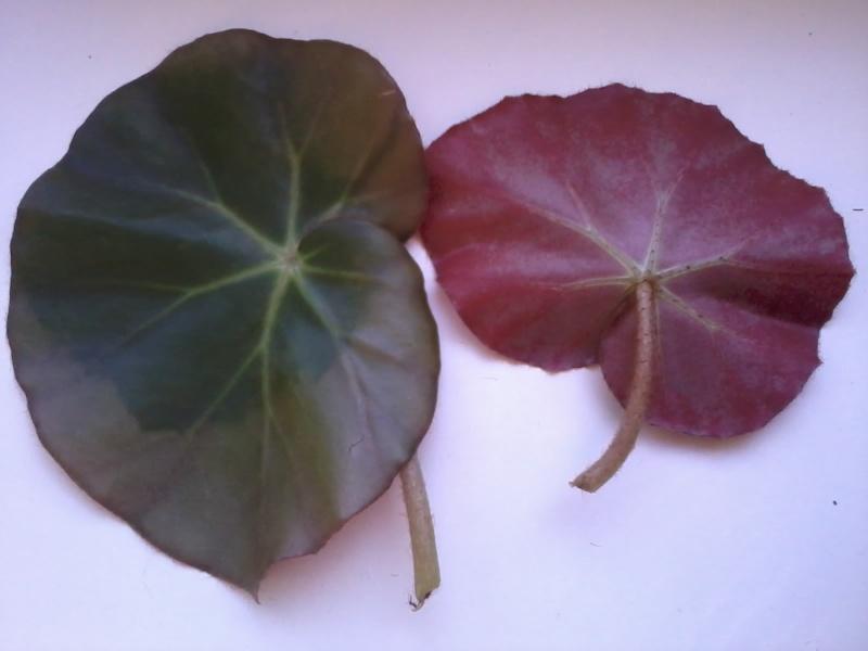 begonia x erythrophylla 20130210
