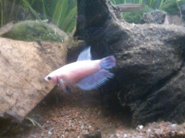 Male SD v femelle crowntail cambodge S_800110
