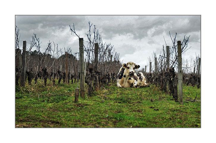 La vache et les vignes... 13021611