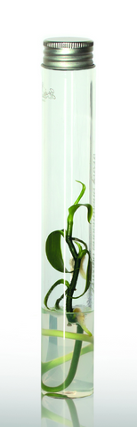 Vanilla planifolia - orchidée vanille - Page 2 Archi10