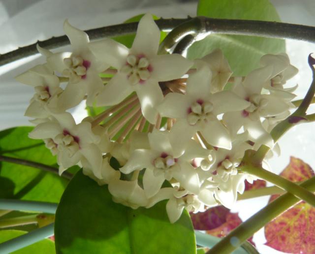Hoya australis Austra10