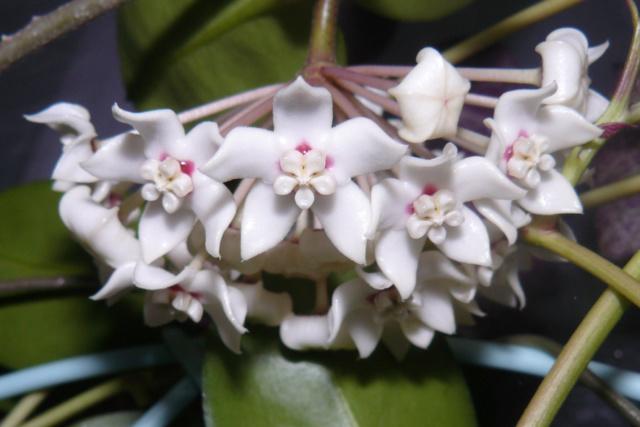 Hoya australis Austra11
