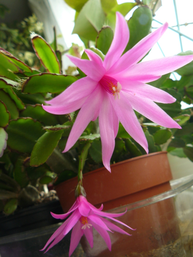 Hatiora rosea (= Rhipsalidopsis) - cactus de Pâques  - Page 2 P1410710