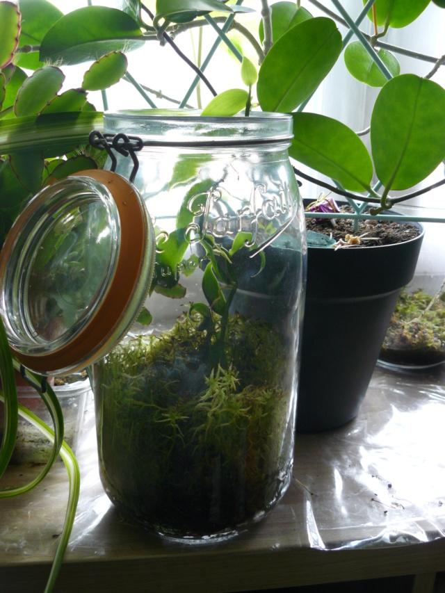 Orchidée in vitro et la sortie d'éprouvette P1420110