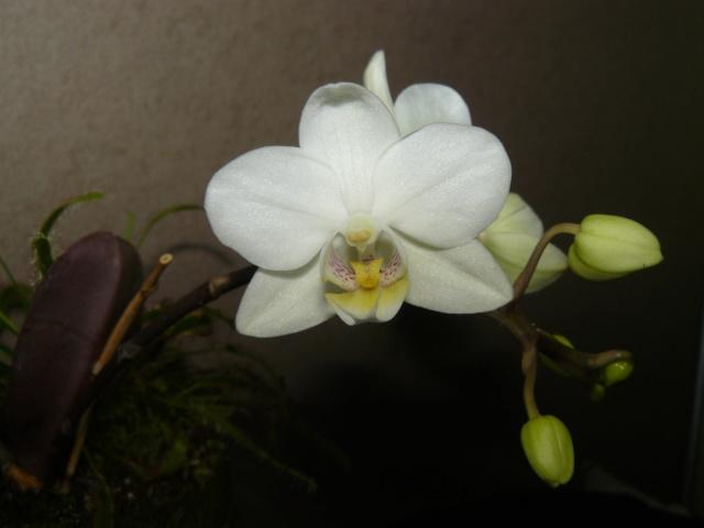orchidées : questions, problèmes et conseils de culture - Page 8 P1420410