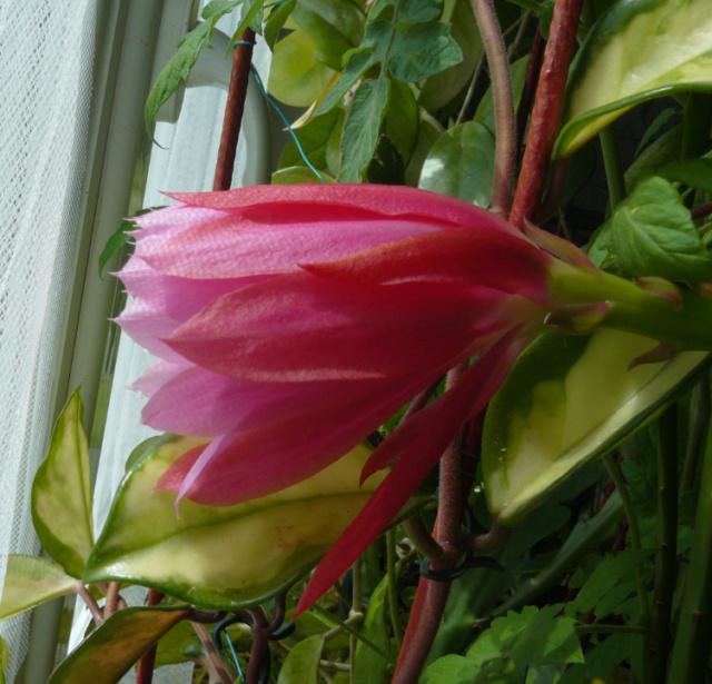 Epiphyllum - floraisons - Page 7 Zopi10