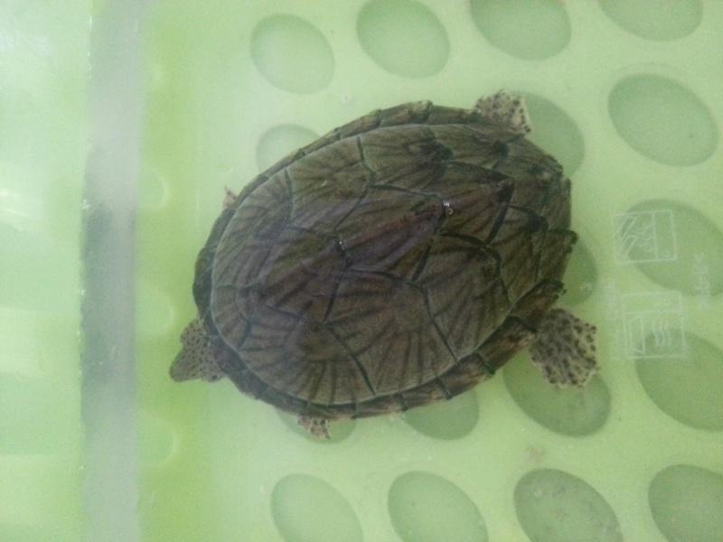 Ma sternotherus carinatus 20130210
