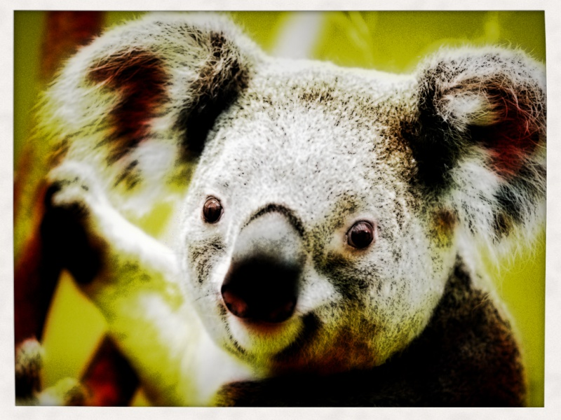 ♫♪Galerie de Gabiloo♫♪ Koala_10