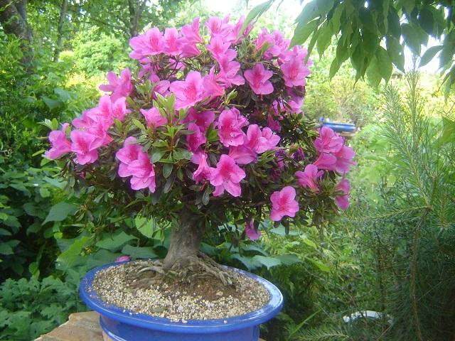 la passion du bonsai - Page 2 001_210