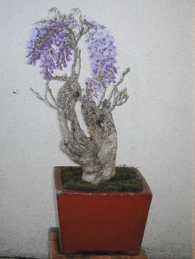la passion du bonsai Glycin11