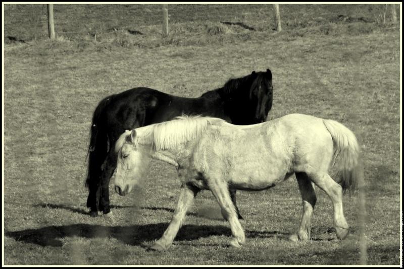 photos en noir et blanc - Page 4 Cheval10
