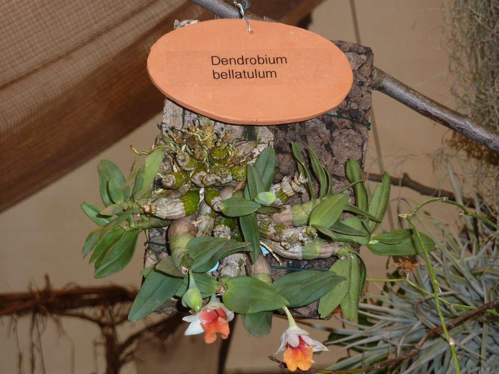 Orchideenausstellung Klosterneuburg 2013 Dendro10
