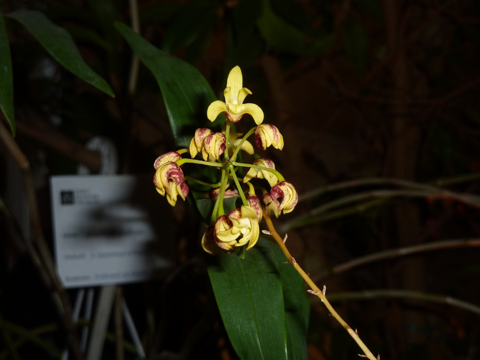 Orchideenausstellung Klosterneuburg 2013 Dendro11