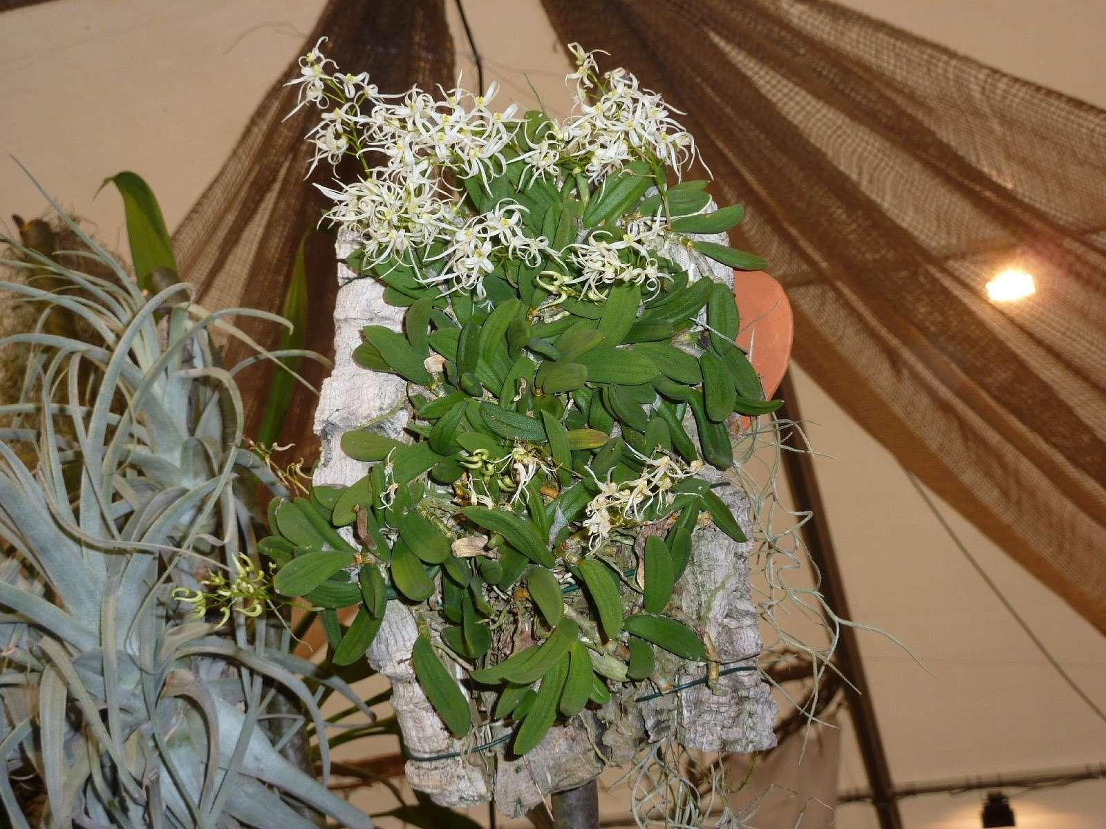 Orchideenausstellung Klosterneuburg 2013 Dockri10