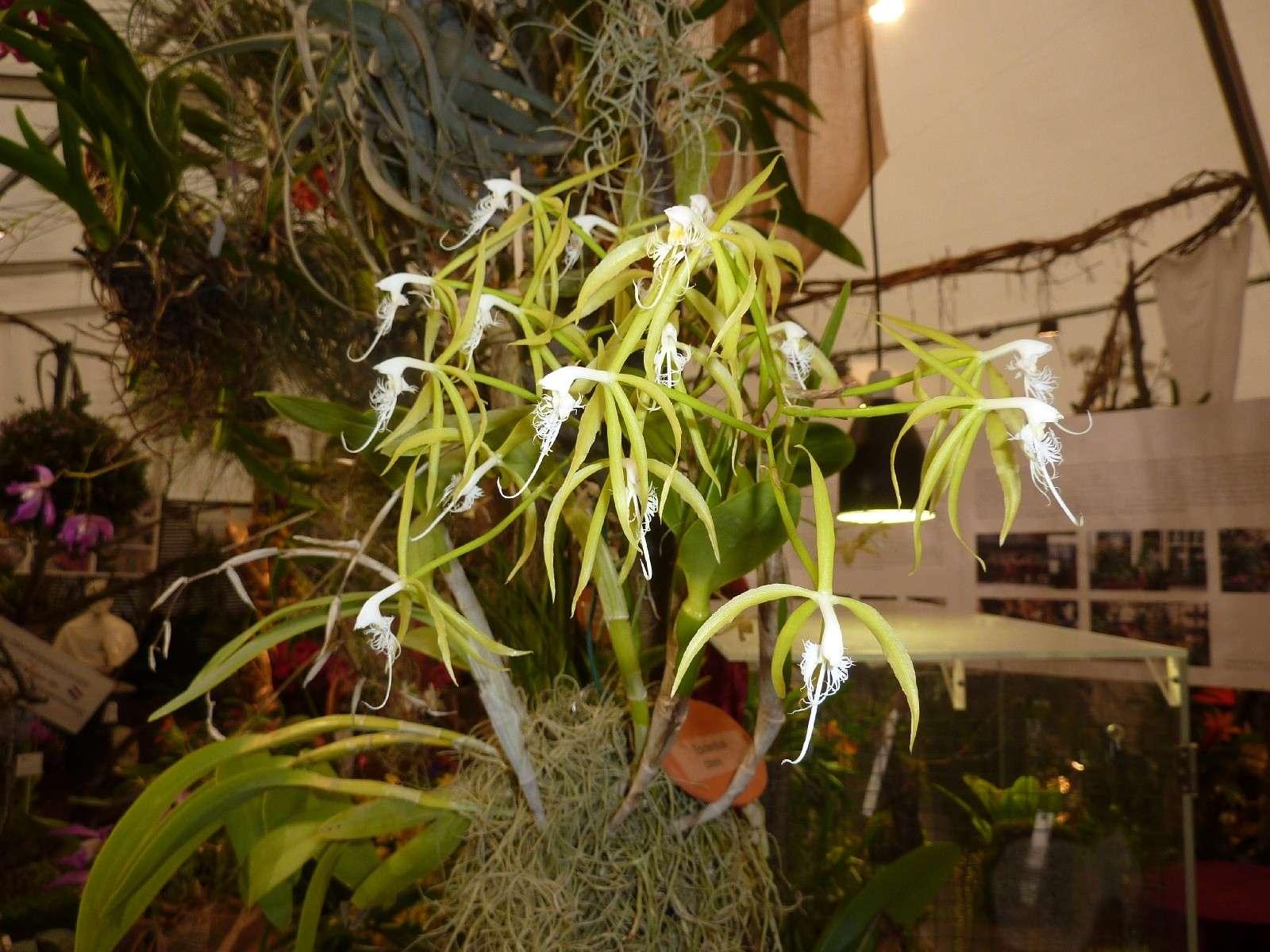 Orchideenausstellung Klosterneuburg 2013 Epiden10