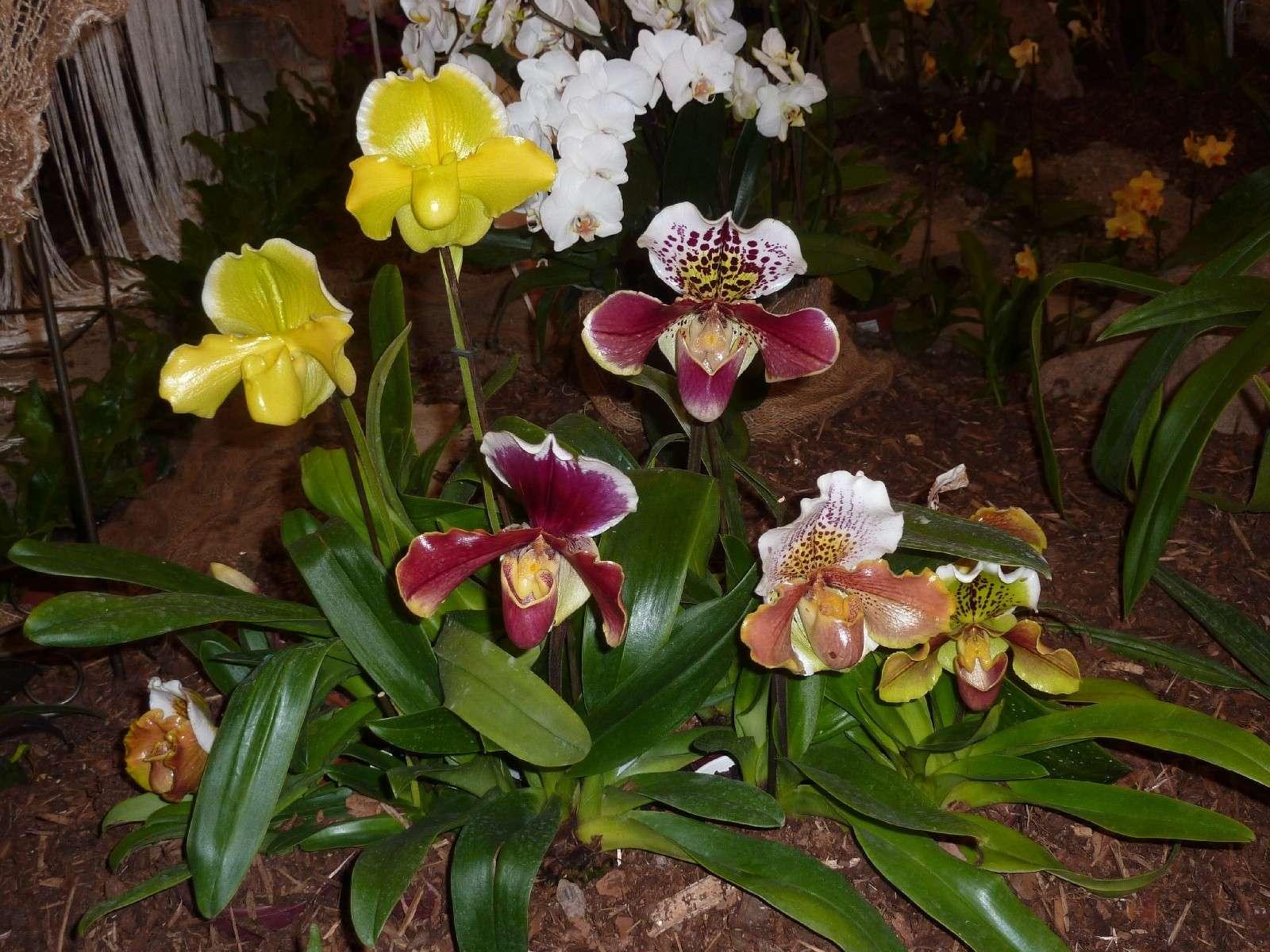 Orchideenausstellung Klosterneuburg 2013 P1000111