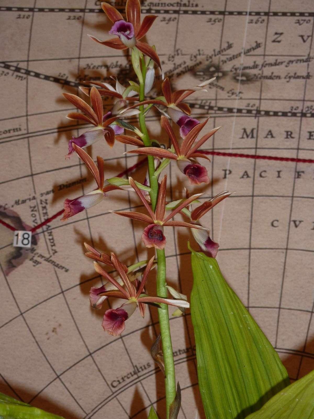 Orchideenausstellung Klosterneuburg 2013 Phaius10