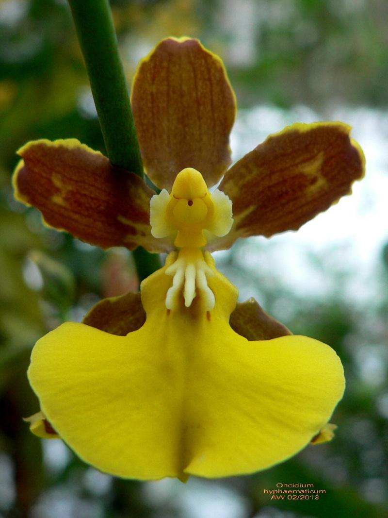 Oncidium hyphaematicum Oncidi10
