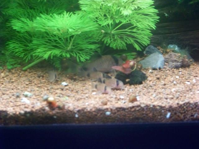 Mon aquarium 120L et mon aquarium 60L 00210