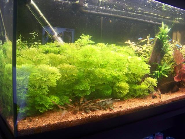 Mon aquarium 120L et mon aquarium 60L 00410