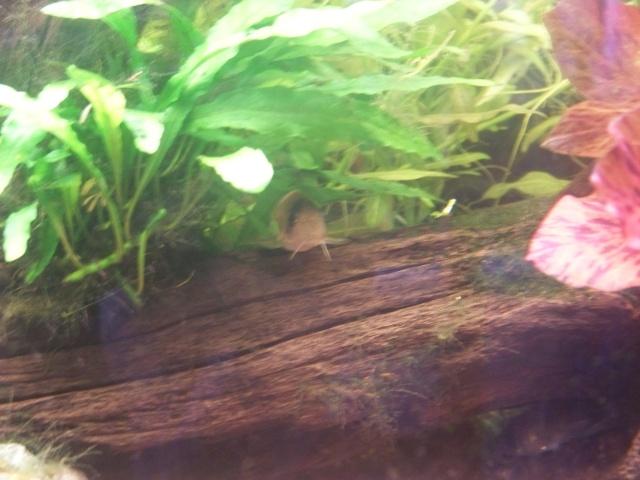 Mon aquarium 120L et mon aquarium 60L 00610