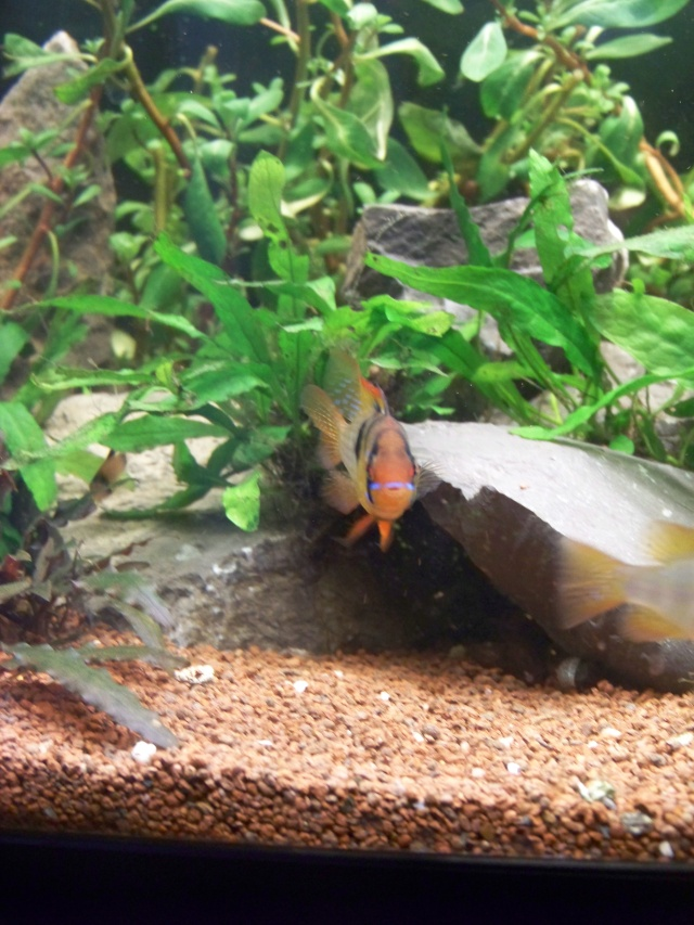 Mon aquarium 120L et mon aquarium 60L - Page 7 00712